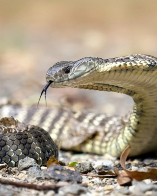 Vipera berus Snake Wallpaper for Nokia Asha 306