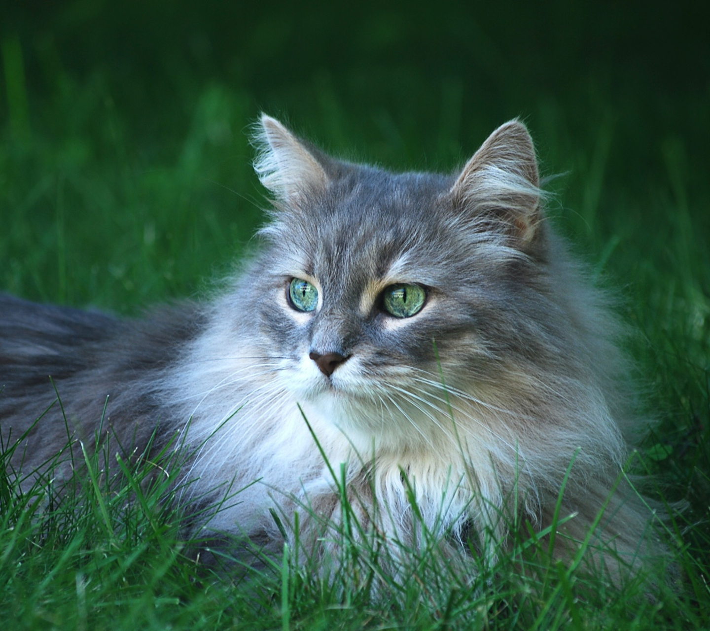 Fluffy Cat wallpaper 1440x1280