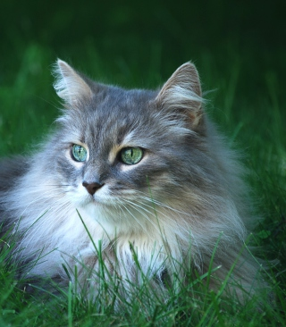 Free Fluffy Cat Picture for 128x160