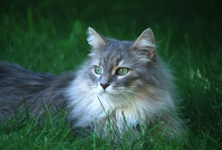 Fluffy Cat Background for Desktop 1280x720 HDTV
