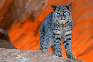 Free Lynx bobcat Picture for 1024x768