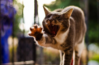 Cat Yawns Background for Android, iPhone and iPad