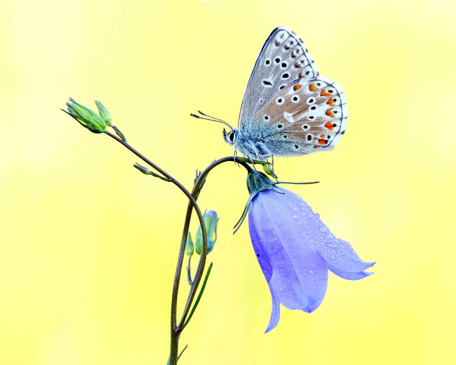 Screenshot №1 pro téma Butterfly on Bell Flower 1600x1280