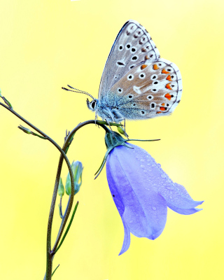 Butterfly on Bell Flower Wallpaper for 240x320