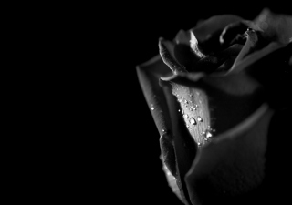 Tears and Roses Background for Widescreen Desktop PC 1280x800