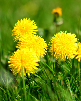 Dandelions HDR Wallpaper for HTC Titan