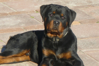 Rottweilers Picture for Android, iPhone and iPad