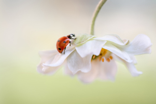 Red Ladybug On White Flower Wallpaper for Android, iPhone and iPad