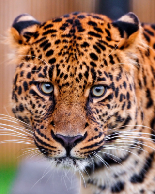 Free Leopard, National Geographic Picture for Nokia C-Series