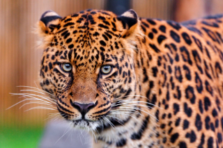 Leopard, National Geographic Picture for Samsung Galaxy Ace 4