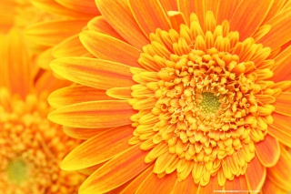 Kostenloses Closeup Orange Flower Wallpaper für Samsung Galaxy S6