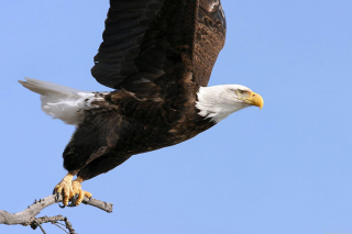 Eagle With Branch Background for Android, iPhone and iPad