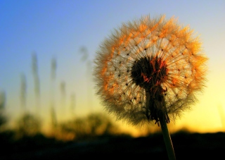 Dandelion At Sunset sfondi gratuiti per cellulari Android, iPhone, iPad e desktop