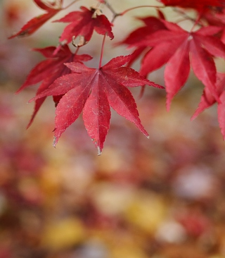 Red Leaves Bokeh sfondi gratuiti per iPhone 5C