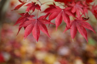 Kostenloses Red Leaves Bokeh Wallpaper für Widescreen Desktop PC 1280x800