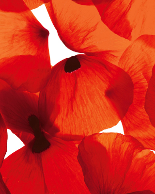Poppy Petals Picture for 240x320