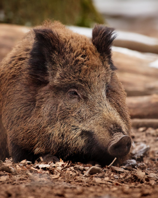 Wild Boar Background for HTC Titan