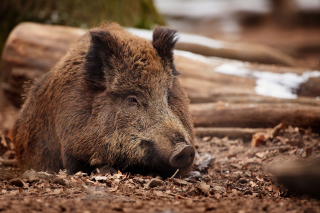 Wild Boar Background for Android, iPhone and iPad