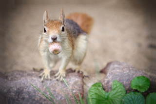 Funny Squirrel With Nut Background for Android, iPhone and iPad