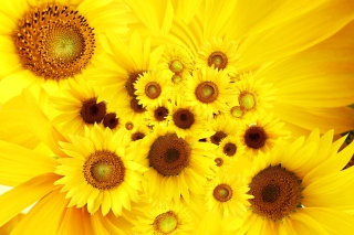 Free Cool Sunflowers Picture for Android, iPhone and iPad