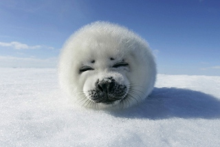 White Seal Background for Android, iPhone and iPad