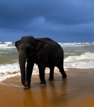 Free Elephant On Beach Picture for Nokia X1-01
