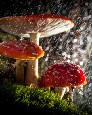 Amanita under rain Background for HTC Titan