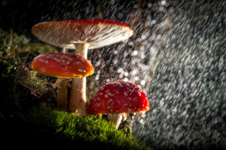 Amanita under rain sfondi gratuiti per cellulari Android, iPhone, iPad e desktop