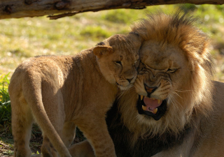 Lion Cuddle sfondi gratuiti per cellulari Android, iPhone, iPad e desktop