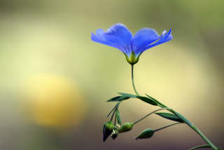 Blue Flower Wallpaper for Android, iPhone and iPad
