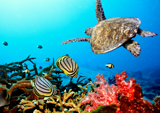 Caribbean Sea Turtle Wallpaper for Android, iPhone and iPad
