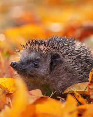 Hedgehog in yellow foliage Background for 240x320
