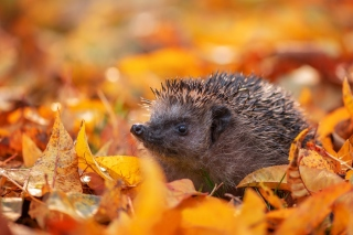 Hedgehog in yellow foliage Background for 1600x1200