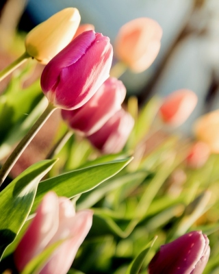 Macro Spring Tulips Background for HTC Titan
