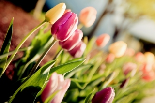 Macro Spring Tulips Background for Android, iPhone and iPad