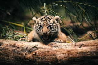 Baby Tiger Background for Android, iPhone and iPad