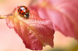 Free Ladybug On Red Leaf Picture for Android, iPhone and iPad