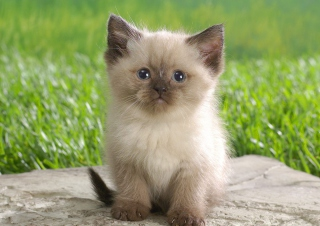 Free Himalayan Kitten Picture for Android, iPhone and iPad