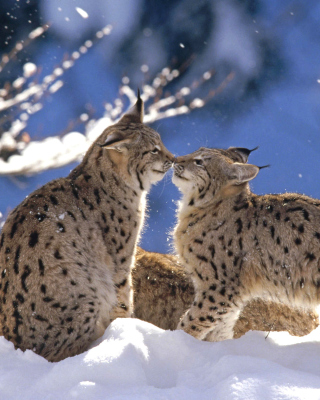 Lynx Cubs Background for HTC Titan