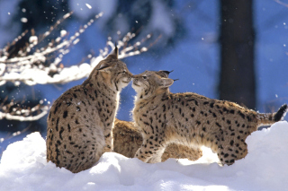 Lynx Cubs Background for Android, iPhone and iPad