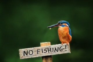 Free Kingfisher Bird Picture for Android, iPhone and iPad