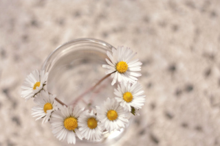 Daisies on white background Background for Android, iPhone and iPad