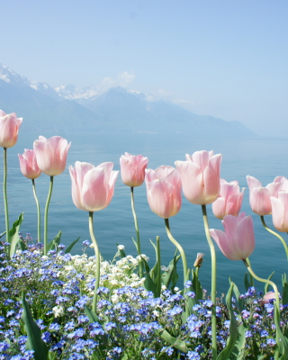 Soft Pink Tulips By Lake Wallpaper for Nokia C1-01