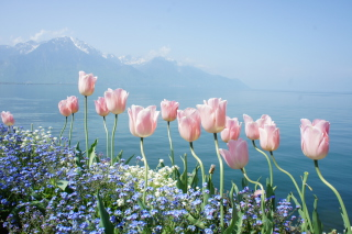 Soft Pink Tulips By Lake Picture for Android, iPhone and iPad