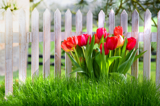 Tulips in Garden Background for Android, iPhone and iPad