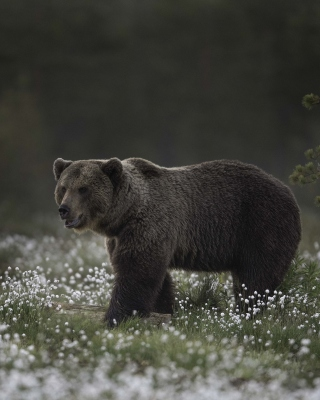 Free Large Bear Picture for Nokia C1-01