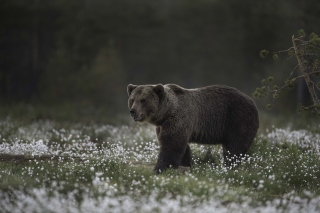Large Bear Wallpaper for Android, iPhone and iPad
