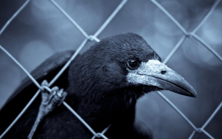 Smart Raven Picture for Android, iPhone and iPad