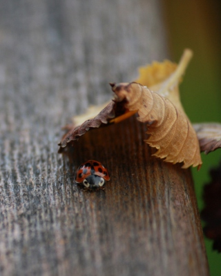 Lady Bug Hiding In Leaf sfondi gratuiti per Samsung Dash