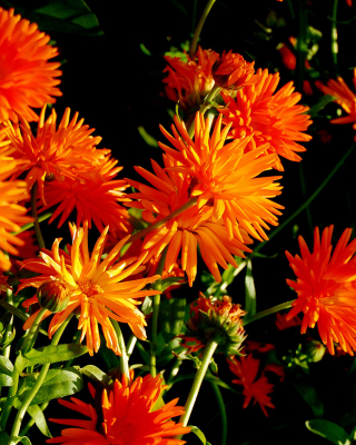Orange Chrysanthemum sfondi gratuiti per iPhone 6 Plus